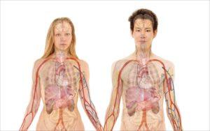 Mensch Organe