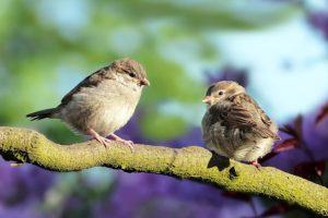 Spatzen Vögel